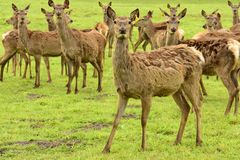 Roe deer Fam; Cervidae Stock Photo
