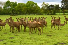 Roe deer Fam; Cervidae Stock Images