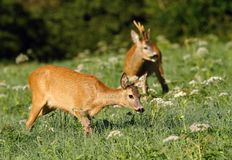Roe deer family Stock Images