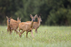 Roe-deer with family Royalty Free Stock Image