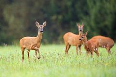 Roe-deer with family Stock Photography