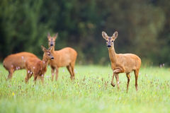 Roe-deer with family in the wild Royalty Free Stock Photos