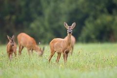 Roe-deer with family in the wild Stock Photo