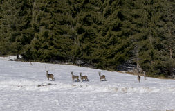 Roe deer family in the winter forest looking at the camera Stock Photo