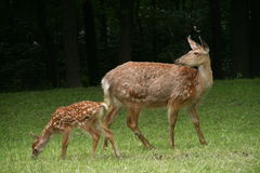 Roe deer with a fawn Stock Photo
