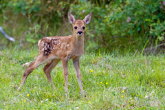 Roe Deer Fawn Stock Photo