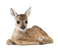 Roe Deer Fawn in front of a white background. Portrait of Roe Deer Fawn, Capreolus capreolus, 15 days old, sitting against white background, studio shot royalty free stock image