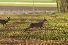 Herd of roe deer running through a farm field in spring. Roe deer and fawn jumping into the forest to hide stock photo