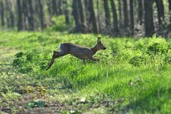 Herd of roe deer running through a farm field in spring. Roe deer and fawn jumping into the forest to hide stock images