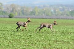 Herd of roe deer running through a farm field in spring. Roe deer and fawn jumping into the forest to hide stock photography