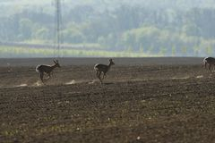 Herd of roe deer running through a farm field in spring. Roe deer and fawn jumping into the forest to hide royalty free stock photo