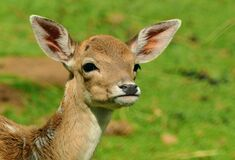Roe Deer, Fawn, Kitz, Young Deer Royalty Free Stock Photography