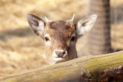 Roe deer fawn Royalty Free Stock Images