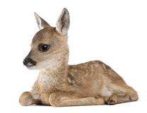 Roe deer Fawn lying down - Capreolus capreolus (15 Stock Images