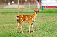 Roe Deer fawn in a meadow field Royalty Free Stock Image