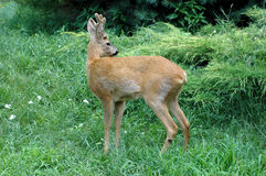 Roe deer fawn in the woods Stock Image