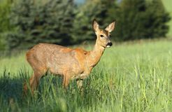 Roe deer female Royalty Free Stock Image