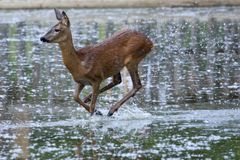 Roe Deer female (Capreolus capreolus). A femaleRoe Deer (Capreolus capreolus) runs into the water by lifting spray Stock Photography