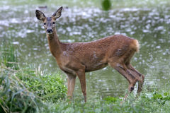 Roe Deer female, Capreolus capreolus. Roe Deer foreground, water background, in spring changing hair Stock Images