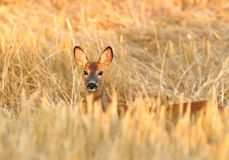Roe deer female Royalty Free Stock Images