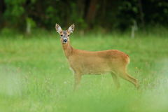 Roe deer female on the magical green grassland Royalty Free Stock Photography