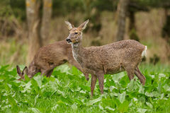 Roe deer females in lush green field Stock Images