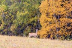 Roe deer in a field Royalty Free Stock Image