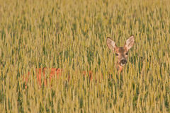 Roe deer in the field Royalty Free Stock Photography
