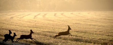 Roe deer in field. Roe deers in dawn light, fall in Sweden Stock Photo