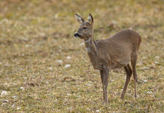 Roe deer in field Stock Images