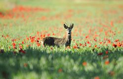 Roe deer in a field of puppies. He looks at me and sticks out his tongue royalty free stock photos