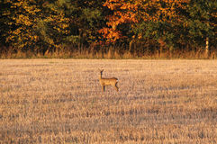 Roe deer on the field Royalty Free Stock Photography