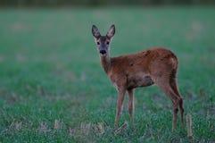 Roe deer on the field, summer. Capreolus capreolus Stock Photo