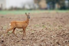 Roe-deer in the field Stock Photo
