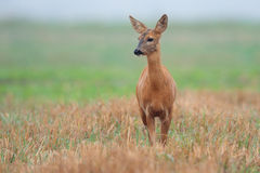 Roe-deer in the field Royalty Free Stock Photos