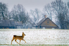 Roe deer in a field winter Royalty Free Stock Photos