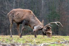 Roe deer fight the root of the tree royalty free stock photography