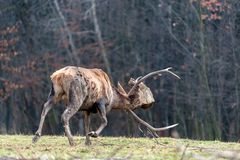 Roe deer fight the root of the tree royalty free stock photo