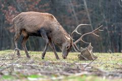 Roe deer fight the root of the tree stock image