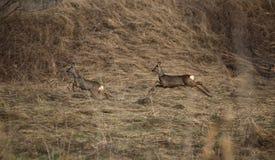 Roe Deer Fleeing royalty-vrije stock foto