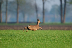 Roe deer flight over the field Royalty Free Stock Photo