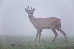 Roe deer in fog Royalty Free Stock Photos