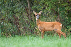 Roe-deer in the forest Royalty Free Stock Photos