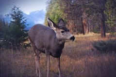 Roe deer in forest Royalty Free Stock Image