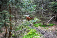 Roe deer  in  forest Stock Images