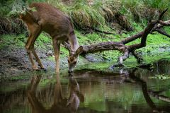 Roe deer in forest, Capreolus capreolus. Wild roe deer drinking water from the pond Stock Images