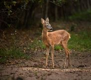 Roe deer by the forest. Roe deer at the edge of the forest Royalty Free Stock Photography
