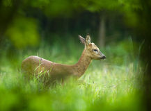 Roe deer in forest Stock Photography