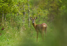 Roe deer in forest Stock Image