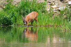Roe deer at forest pond Royalty Free Stock Image